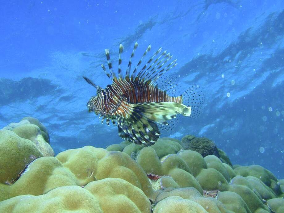 A lionfish is one of the many denizens of the coral reefs of Pemba, an island north of Zanzibar.