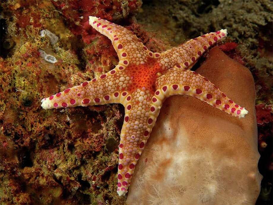 Tanzania\'s sea stars come in a wide variety of colors, shapes and sizes. Several dive sites off Pemba are known for their abundance of sea stars.