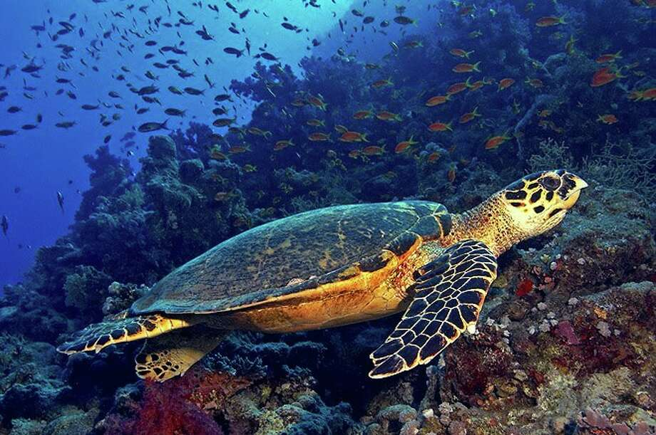 The hawksbill turtle is one of five marine turtles in Tanzania, along with green, loggerhead, olive ridley and leatherback.  Its main nesting sites are Misali Island, off Pemba, and Mafia Island.