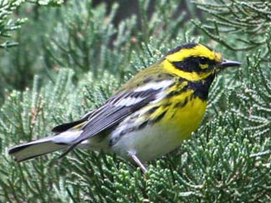 Townsend\'s warbler