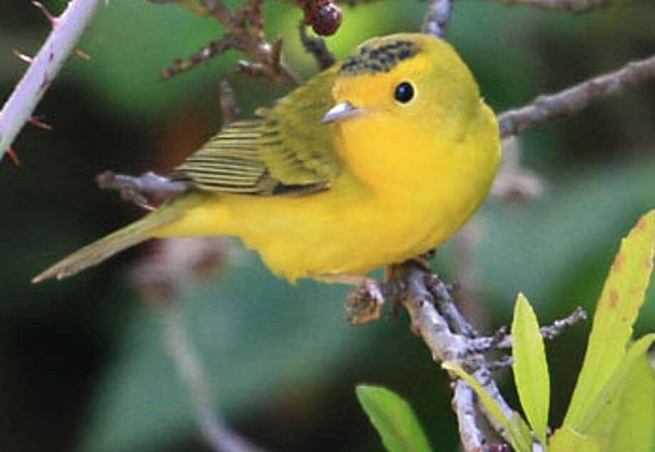 Wilson\'s warbler
