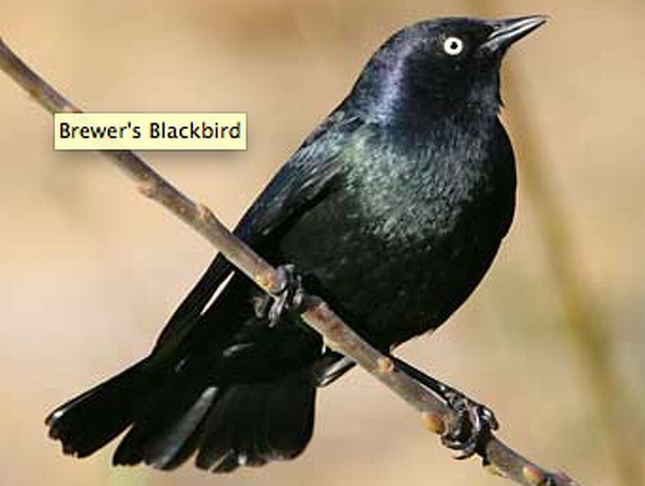 Brewer\'s blackbird