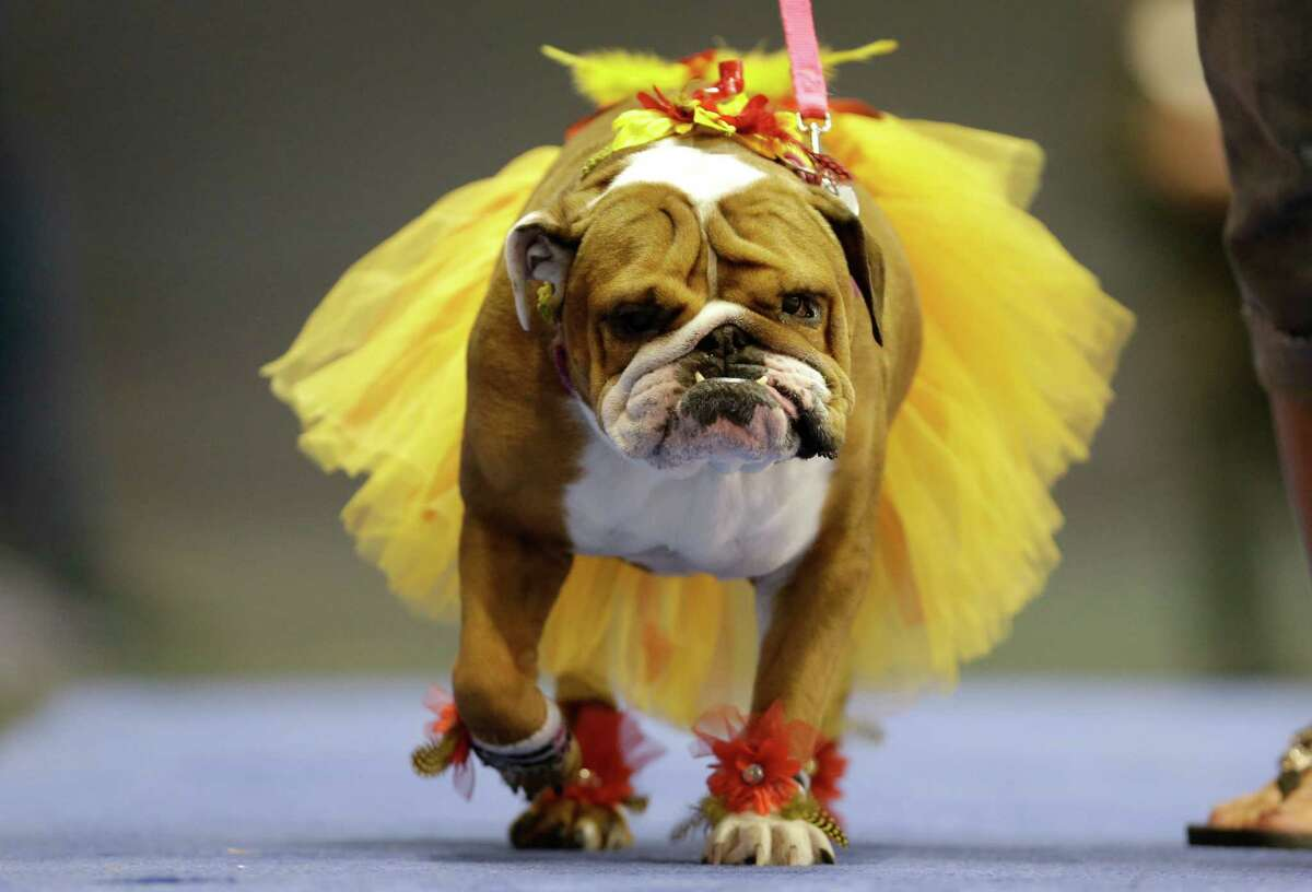 Addie, owned by Lisa Schnathorst of Overland Park, Kansas, walks across stage during the 34th annual Drake Relays Beautiful Bulldog Contest, Monday, April 22, 2013, in Des Moines, Iowa. The pageant kicks off the Drake Relays festivities at Drake University where a bulldog is the mascot.