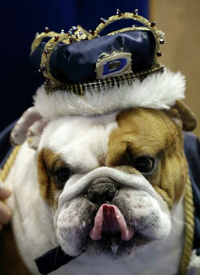 Huckleberry sits on the throne after being crowned the winner of the 34th annual Drake Relays Beautiful Bulldog Contest, Monday, April 22, 2013, in Des Moines, Iowa. The bulldog is owned by Steven and Stephanie Hein of Norwalk, Iowa. The pageant kicks off the Drake Relays festivities at Drake University where a bulldog is the mascot. Photo: Charlie Neibergall, AP / AP