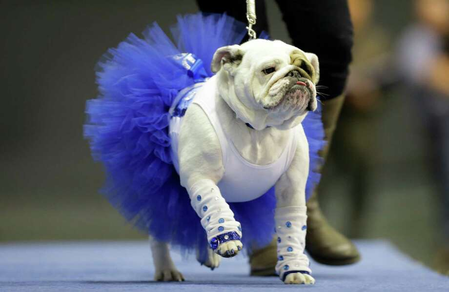 Diva, owned by Danielle Holmes, of Ames, Iowa, walks across stage during the 34th annual Drake Relays Beautiful Bulldog Contest, Monday, April 22, 2013, in Des Moines, Iowa. The pageant kicks off the Drake Relays festivities at Drake University where a bulldog is the mascot. Photo: Charlie Neibergall, AP / AP
