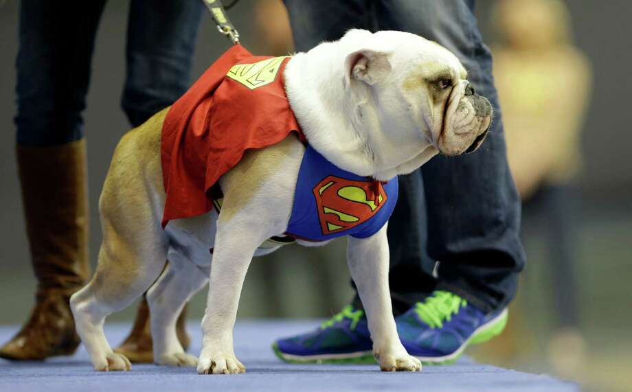 Buster, owned by Tara Walter, of West Des Moines, Iowa, walks on stage during the 34th annual Drake Relays Beautiful Bulldog Contest, Monday, April 22, 2013, in Des Moines, Iowa. The pageant kicks off the Drake Relays festivities at Drake University where a bulldog is the mascot. Photo: Charlie Neibergall, AP / AP
