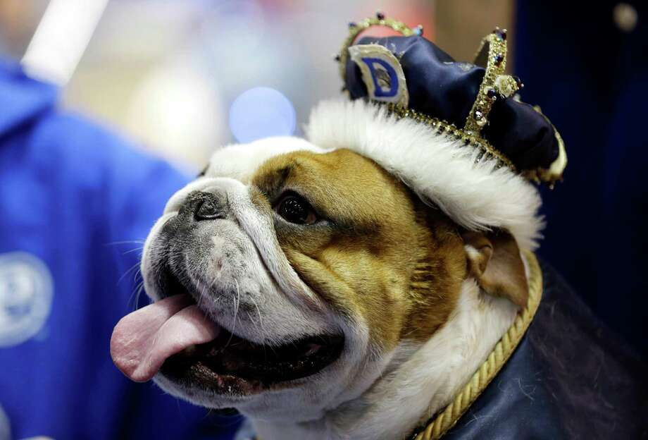 Huckleberry sits on the throne after being crowned the winner of the 34th annual Drake Relays Beautiful Bulldog Contest, Monday, April 22, 2013, in Des Moines, Iowa. The 4-year-old bulldog pup is owned by Steven and Stephanie Hein of Norwalk, Iowa. The pageant kicks off the Drake Relays festivities at Drake University where a bulldog is the mascot. Photo: Charlie Neibergall, AP / AP