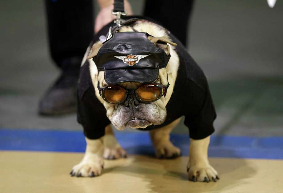 Jazmine Josephine looks on during the 34th annual Drake Relays Beautiful Bulldog Contest, Monday, April 22, 2013, in Des Moines, Iowa. The pageant kicks off the Drake Relays festivities at Drake University where a bulldog is the mascot. Photo: Charlie Neibergall, AP / AP
