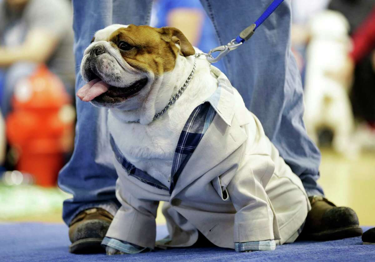 Huckleberry sits on the stage before being crowned the winner of the 34th annual Drake Relays Beautiful Bulldog Contest, Monday, April 22, 2013, in Des Moines, Iowa. The 4-year-old pup bulldog is owned by Steven and Stephanie Hein of Norwalk, Iowa. The pageant kicks off the Drake Relays festivities at Drake University where a bulldog is the mascot.