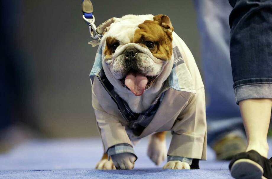 Huckleberry walks across stage before being crowned the winner of the 34th annual Drake Relays Beautiful Bulldog Contest, Monday, April 22, 2013, in Des Moines, Iowa. The 4-year-old pup bulldog is owned by Steven and Stephanie Hein of Norwalk, Iowa. The pageant kicks off the Drake Relays festivities at Drake University where a bulldog is the mascot. Photo: Charlie Neibergall, AP / AP