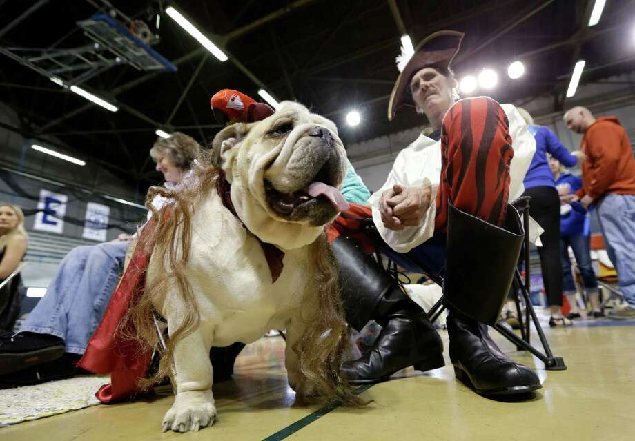 Dave Larson, of Des Moines, Iowa, sits with his bulldog Ramone during the 34th annual Drake Relays Beautiful Bulldog Contest, Monday, April 22, 2013, in Des Moines, Iowa. The pageant kicks off the Drake Relays festivities at Drake University where a bulldog is the mascot. Photo: Charlie Neibergall, AP / AP
