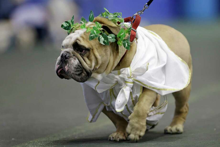 Zeus, owned by Meghan Donnelly, of Cedar Rapids, Iowa, walks in front of the judges during the 34th annual Drake Relays Beautiful Bulldog Contest, Monday, April 22, 2013, in Des Moines, Iowa. The pageant kicks off the Drake Relays festivities at Drake University where a bulldog is the mascot. Photo: Charlie Neibergall, AP / AP