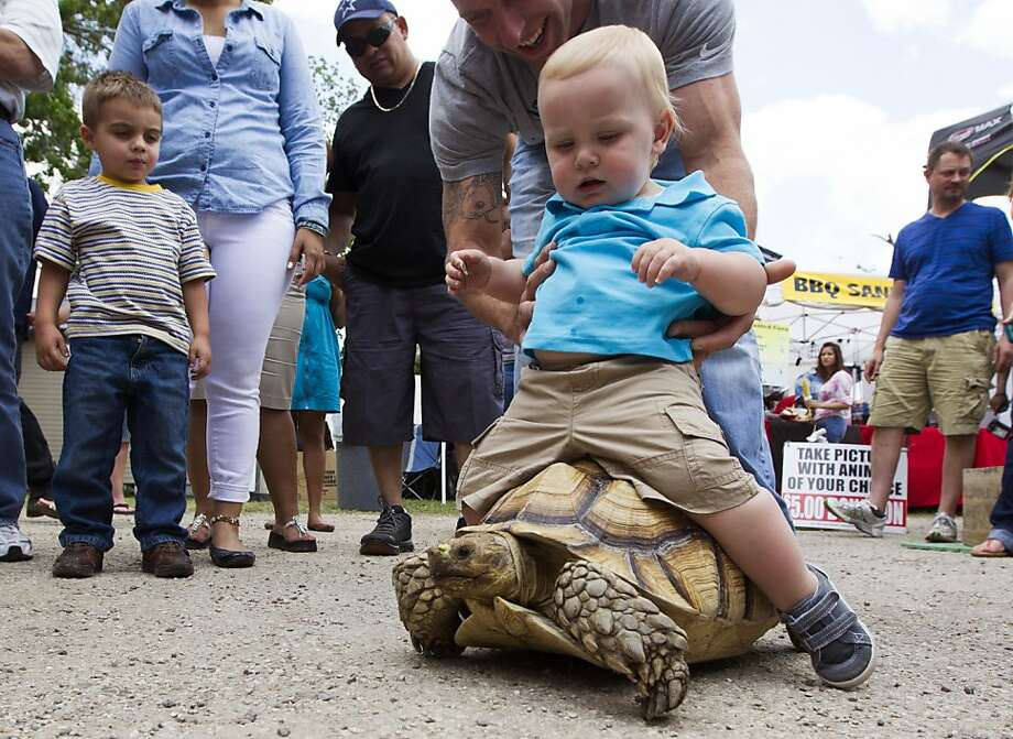 No, don't let him ride the Widow Maker! Like a rodeo cowboy lowered onto a bucking bronco, 13-month-old Nathon Hay is helped onto the back of a 9-year-old tortoise at the Texas Crawfish and Music Festival in Old Town Spring. Photo: J. Patric Schneider, For The Houston Chronicle