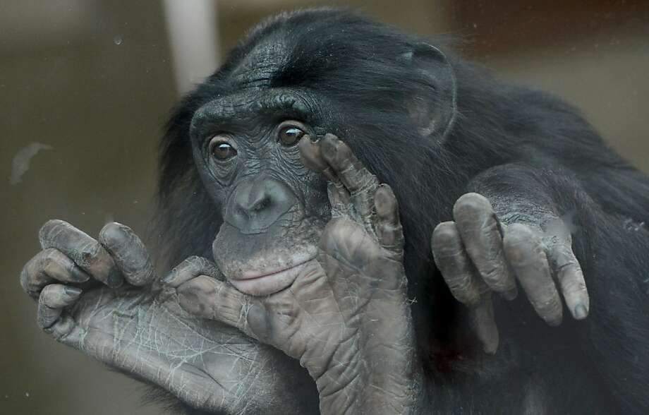 Rethinking 'The Thinker':A bonobo holds its chin with its foot at the Wilhelma Zoo in Stuttgart, Germany. Photo: Franziska Kraufmann, AFP/Getty Images