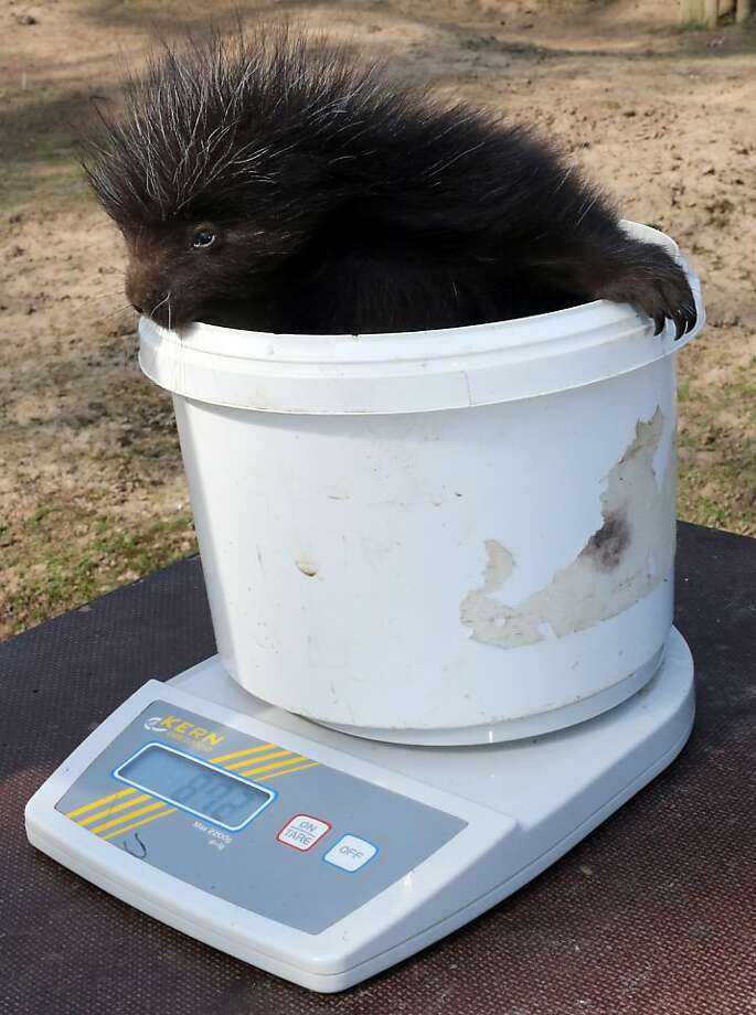 First weigh-in: In Magdeburg, Germany, a baby porcupine tips the scales at 872 grams, but a lot of that is bucket. Photo: Jens Wolf, AFP/Getty Images