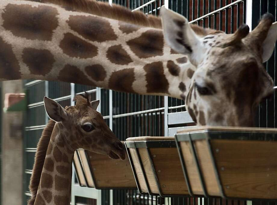 Basically you stick your face in it and open your mouth:Lotti the Rothschild's (Ugandan) giraffe instructs her young'un Eric on the finer points of feed box dining at Berlin's Tierpark Zoo. Photo: John Macdougall, AFP/Getty Images