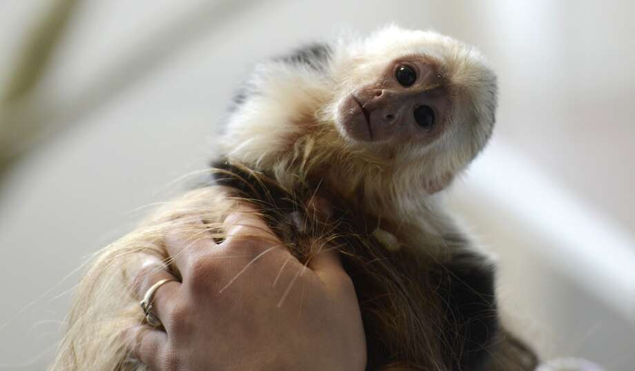 "The capuchin monkey ""Mally""  of Canadian singer Justin Bieber is seen in a home for animals in Munich, southern Germany, on April 2, 2013. The German customs authority has confiscated the monkey during the entry of Justin Bieber at the Munich airport last week. Justin Bieber arrived without health documents for his chapuchin monkey. AFP PHOTO / CHRISTOF STACHE        (Photo credit should read CHRISTOF STACHE/AFP/Getty Images) Photo: CHRISTOF STACHE, AFP/Getty Images"