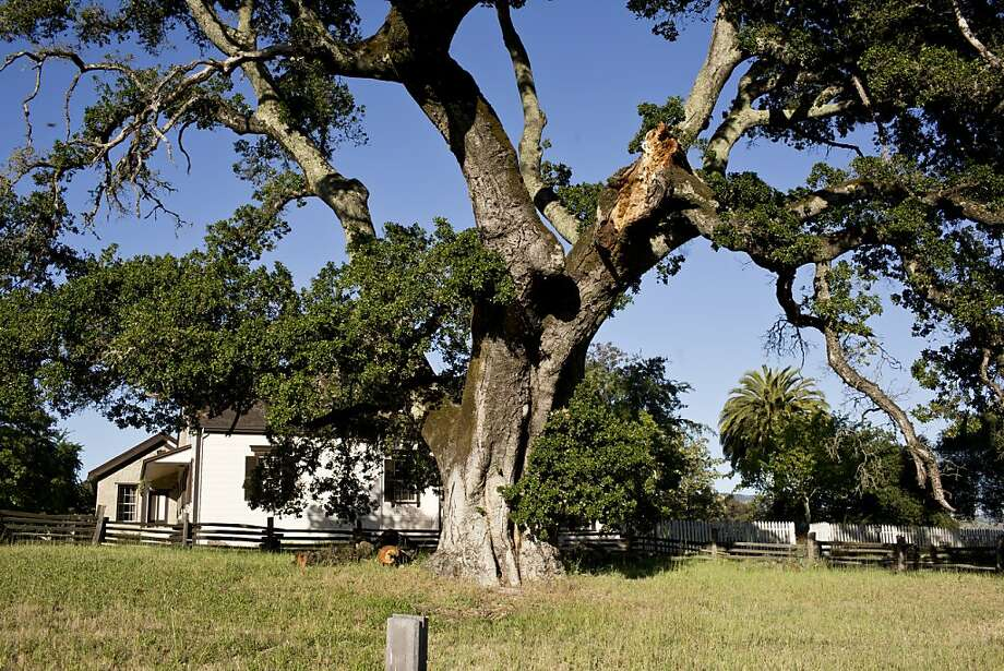 This 350- to 400-year-old oak tree, which provided Jack London with shade and inspiration at his Glen Ellen cottage, has been spared its scheduled removal. Photo: Jason Henry, Special To The Chronicle