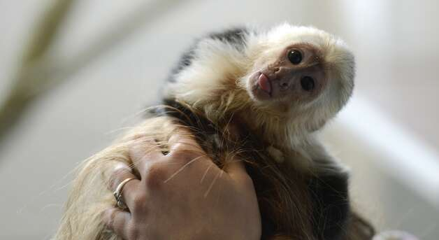 "The capuchin monkey ""Mally"" of Canadian singer Justin Bieber is seen in a home for animals in Munich, southern Germany, on April 2, 2013. The German customs authority has confiscated the monkey during the entry of Justin Bieber at the Munich airport last week. Justin Bieber arrived without health documents for his chapuchin monkey. AFP PHOTO / CHRISTOF STACHE        (Photo credit should read CHRISTOF STACHE/AFP/Getty Images)"