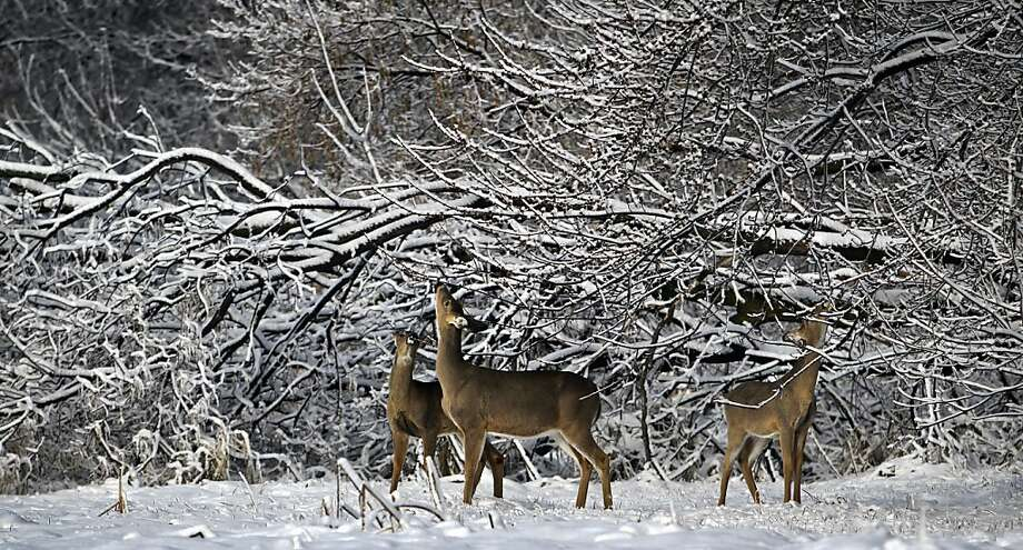 Whitetail deer browse on tree buds in the Wood Lake Nature Center, following the most recent spring snowstorm, Tuesday, April 23, 2013, in Richfield, Minn. (AP Photo/The Star Tribune, David Joles) Photo: David Joles, Associated Press