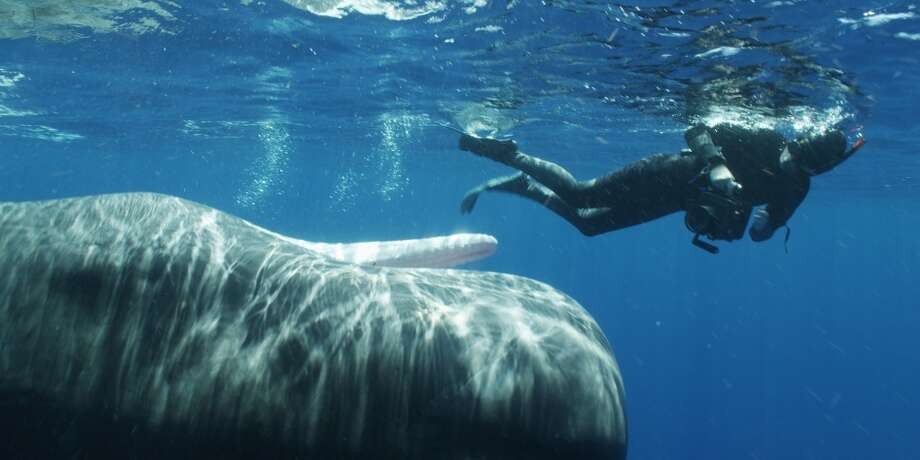 A sperm whale exhibits a possible threat display to Bryant Austin in Dominica, West Indies, 2011.