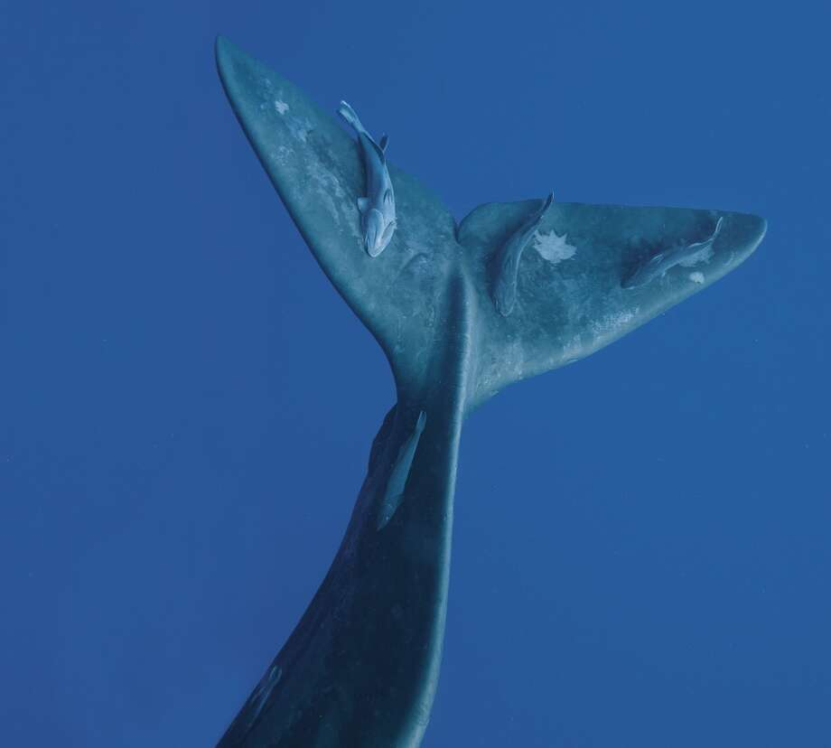 Sperm whale fluke, West Indies, 2009