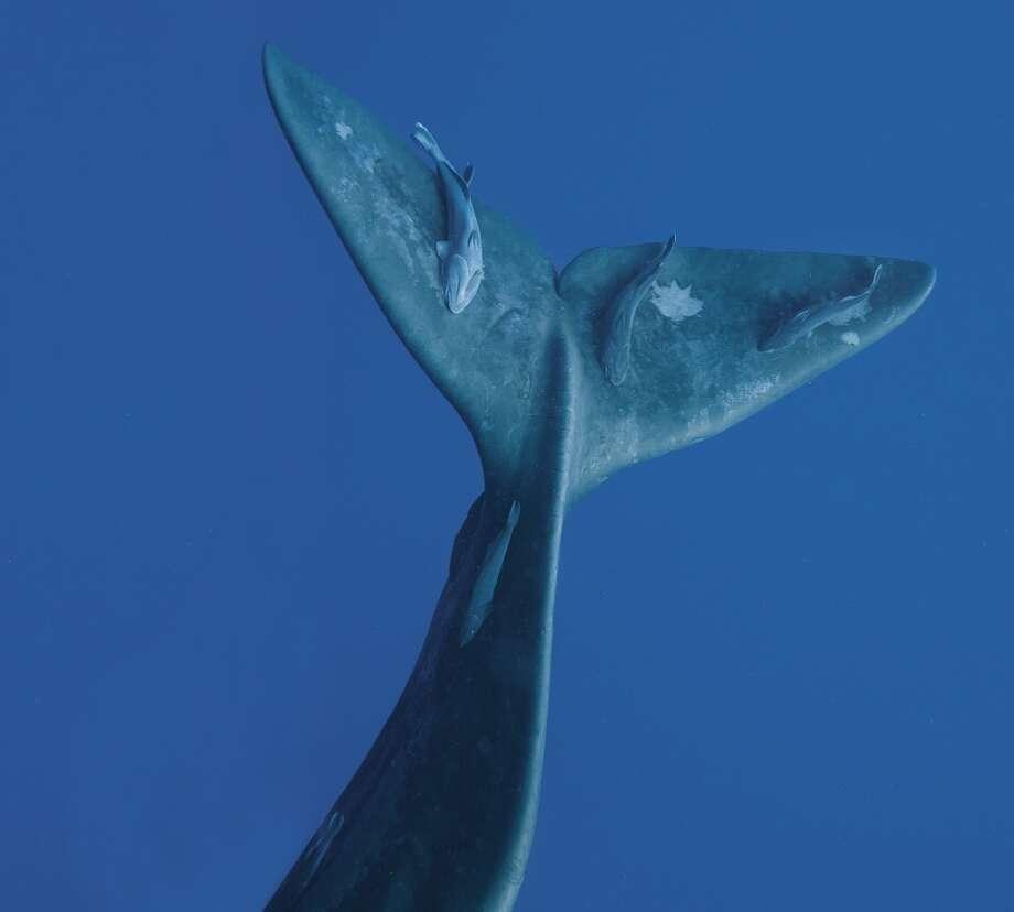 Sperm whale fluke, West Indies, 2009