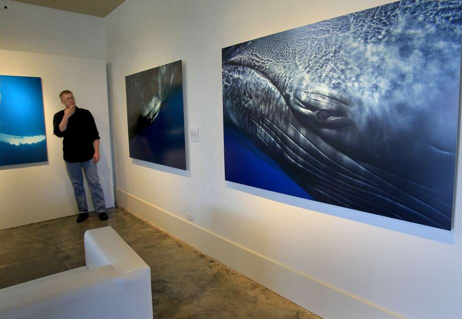 The spacious museum area is well suited to the large life sized whale portraits. Bryant Austin has photographed whales close up and his intimate portraits are on display at the Museum of Monterey, Calif.
