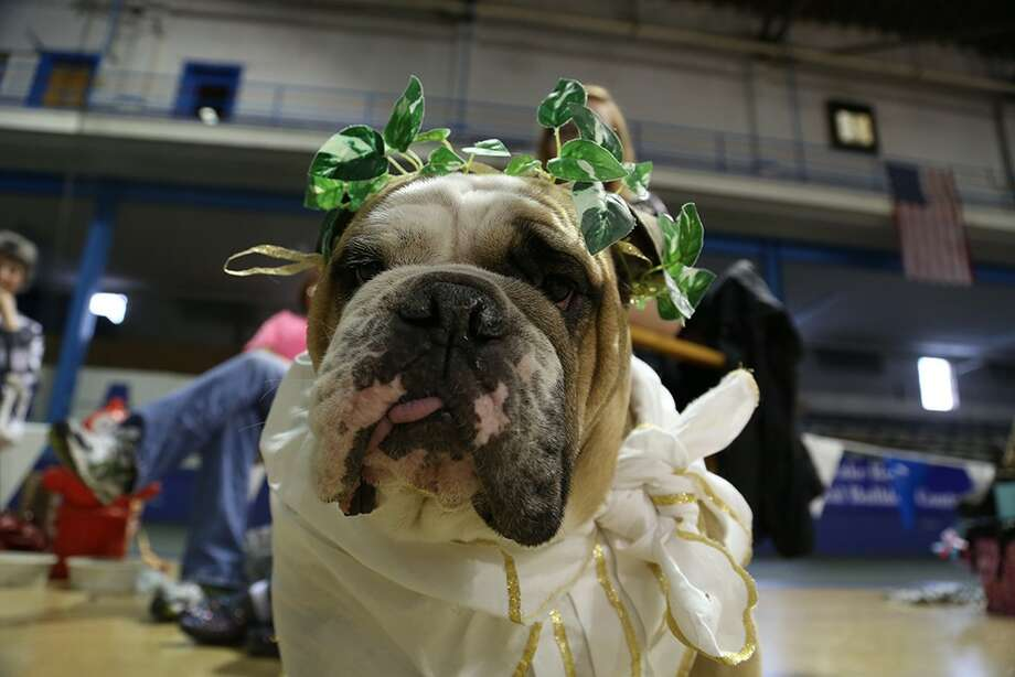 Don't forget to water me: Every year, 50 canines from across the United States compete for the coveted title of Beautiful Bulldog at Drake University in Des Moines, Iowa, and every year the bulldog with the plant growing out of his head fails to win. Photo: Drake University