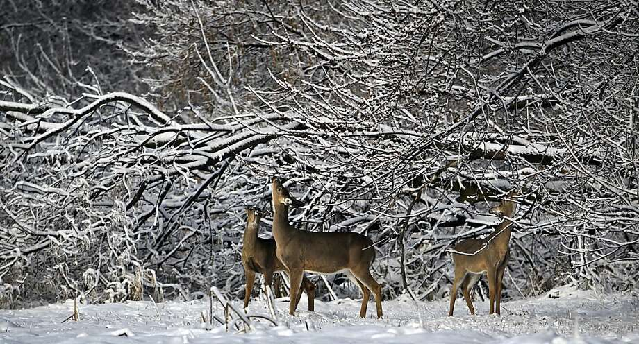 These buds are for you: Whitetail deer dine on tree leaf buds in Richfield, Minn., which is looking forward to spring arriving sometime in June. Photo: David Joles, McClatchy-Tribune News Service