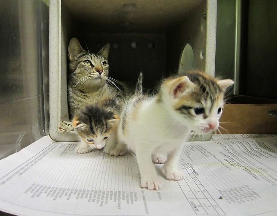 "What do you mean the IRS is auditing our tax return?! It says here we can't take a medical deduction for ""aroma catnip therapy"" ... (Animal Care Services' surrogate mother program for abandoned kittens in San Antonio.) Photo: Vincent T. Davis, San Antonio Express-News"