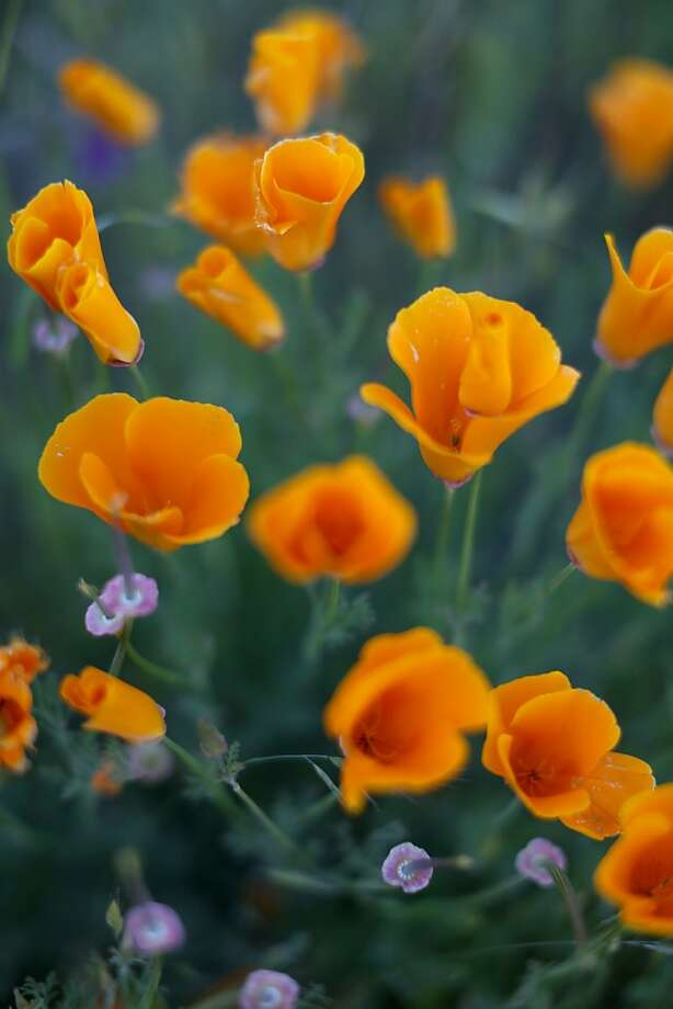 California poppies grow at Jack London State Park, one of the many Sonoma Valley attractions. Photo: Jason Henry, Special To The Chronicle