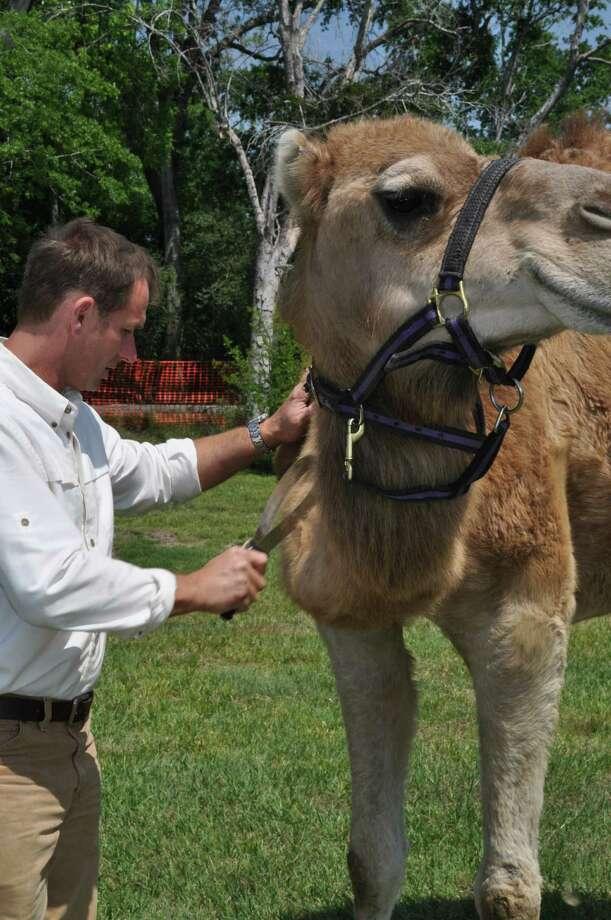 Camel Photo: Handout