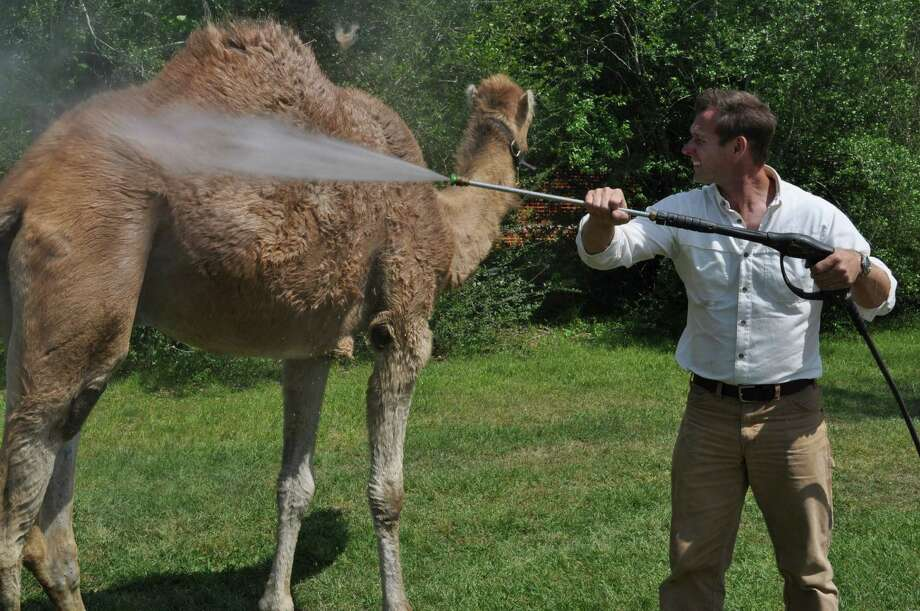 Cleaning a camel. Photo: Handout