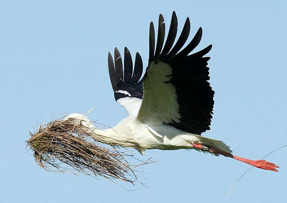 A stork flies with material for building a nest during warm and sunny weather near Hombrechtikon at lake Luetzelsee in Switzerland, Wednesday, April 24, 2013.  Photo: Steffen Schmidt, Associated Press
