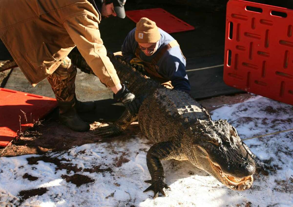 Keeper J.T. Warner, left, and associate curator Rob Tomas push an alligator up a snowy slope as they remove it from its enclosure for weighing and measuring at the Beardsley Zoo in Bridgeport on Thursday.