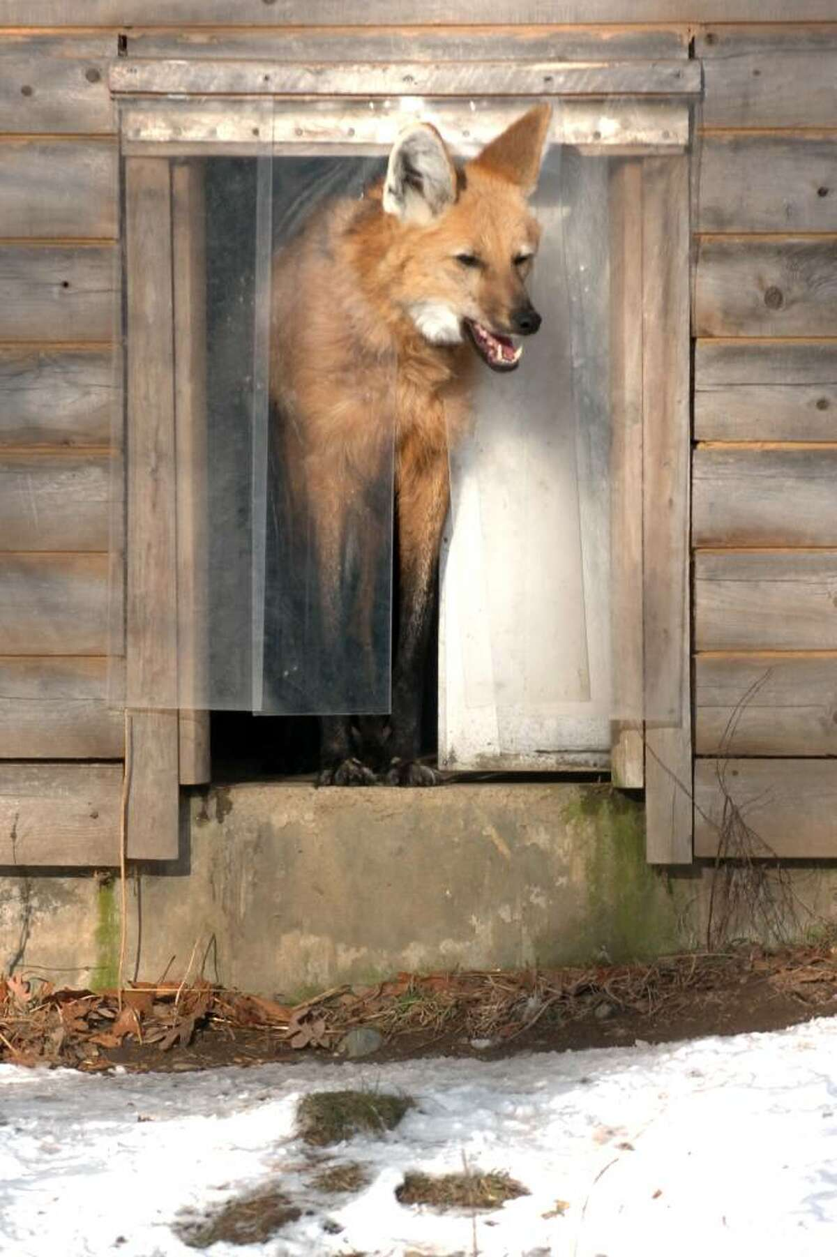 A Maned wolf looks out from the warmth of its hutch at Connecticut's Beardsley Zoo, in Bridgeport, Conn. Jan. 4th, 2010.