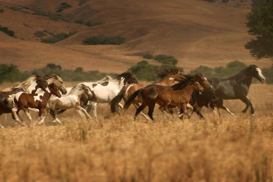 A herd of Choctaw Indian ponies, whose numbers have plunged from 1,500 in the early 1970s to less than 200 today, run free at Return to Freedom.