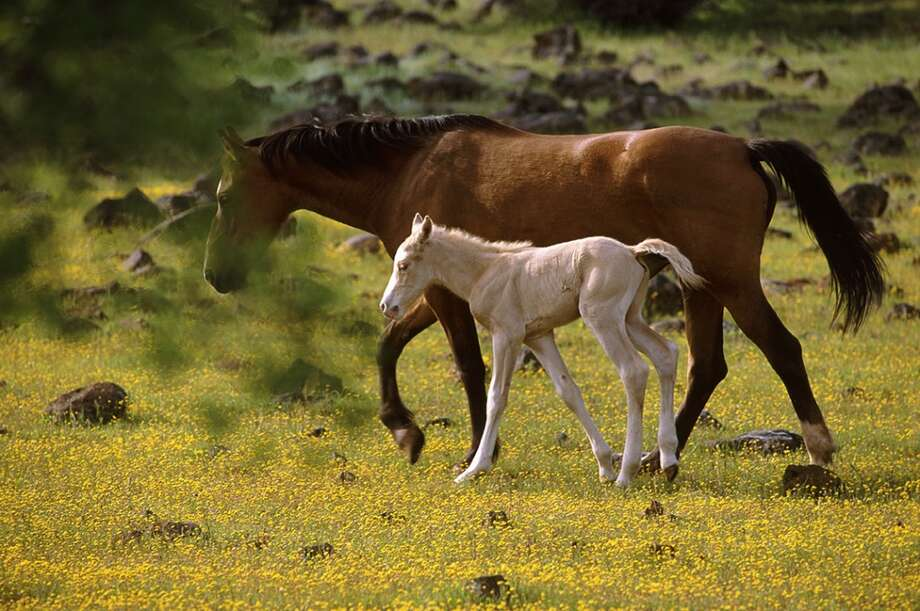 Participants in the Wild Horse Sanctuary\'s wildflower ride and other spring outings will have a good chance of seeing new foals.