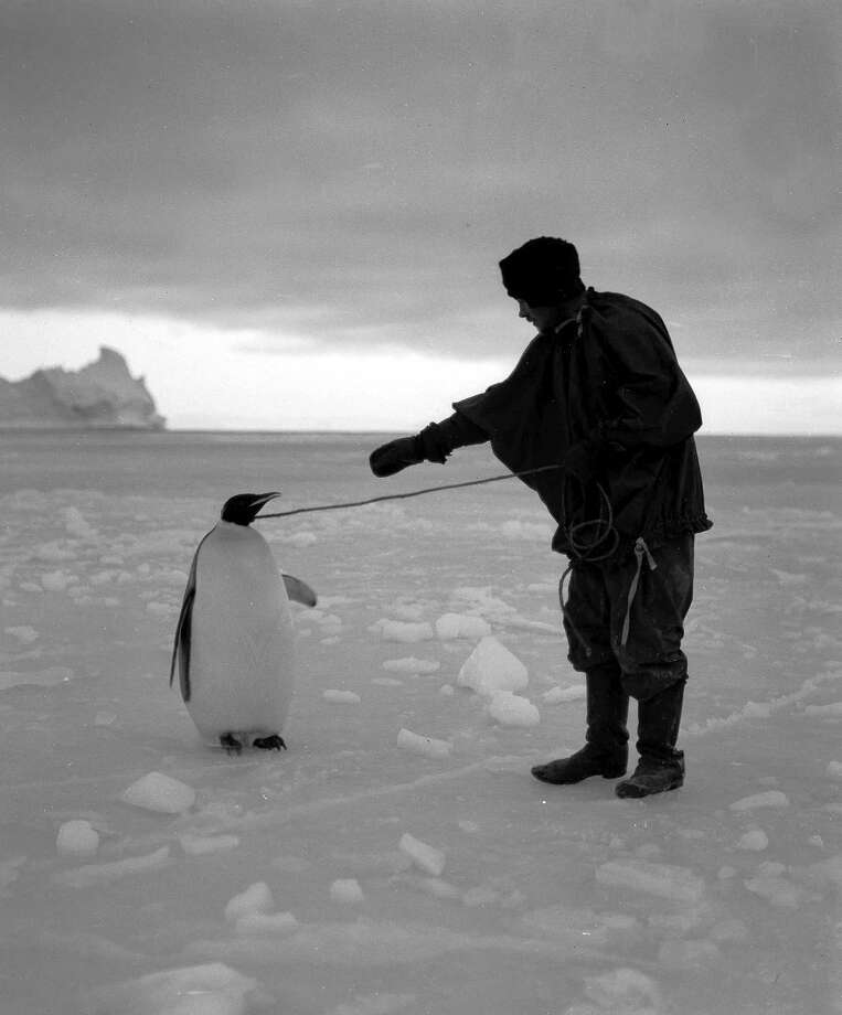 Expedition team member Clissold inspecting an Emperor penguin. Photo: Popperfoto, H.G. Pointing/Terra Nova / Popperfoto