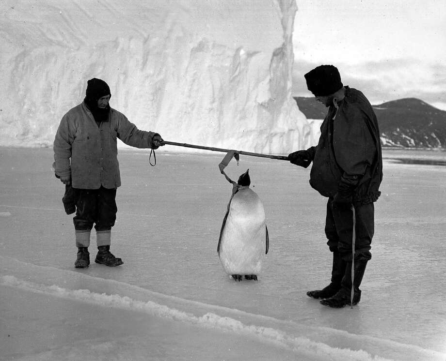 Expedition team members Clissold and Anton inspecting an Emperor penguin. Photo: Popperfoto, H.G. Pointing/Terra Nova / Popperfoto