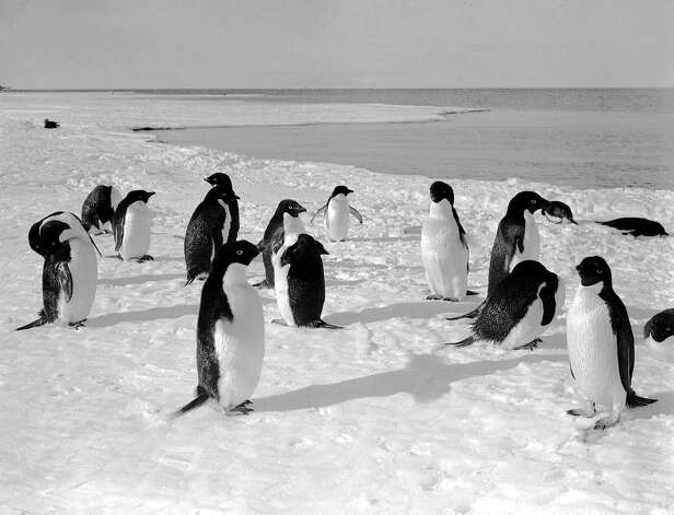 A group of Adelie penguins on the sea ice. Photo: Popperfoto, H.G. Pointing/Terra Nova / Popperfoto