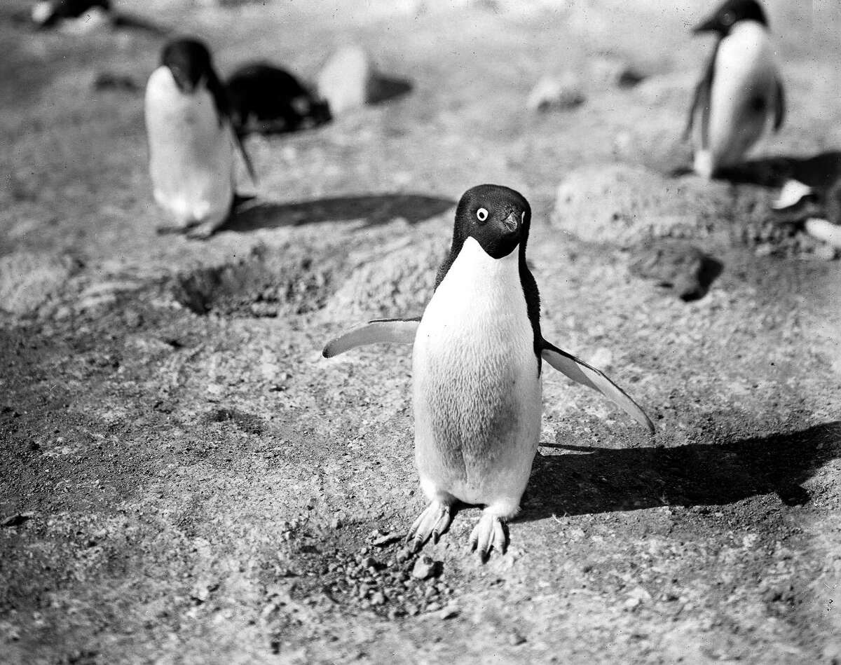 In the spirit of World Penguin Day (yes, that is a real thing):In 1913, the world saw the first professional photographs of penguins in Antarctica, taken by H.G. Pointing of the fated Terra Nova expedition. Captain Robert F. Scott and his team of British explorers lost a race against the Norwegians to the South Pole, but spend the next two years documenting their findings in Antarctica before every last member of the crew perished, only to be found by a search party 8 months later.In 1913 the search party returned with photographs and journals from the Terra Nova, you can see them here.
