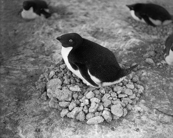 An Adelie penguin lying on his nest, made from a mound of stones. Photo: Popperfoto, H.G. Pointing/Terra Nova / Popperfoto