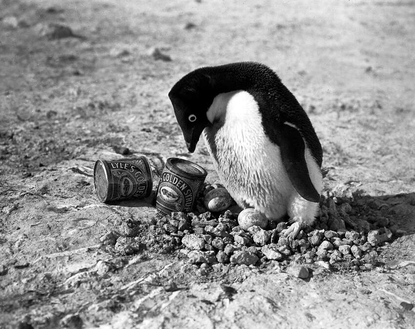 An Adelie penguin guarding eggs in its nest while standing next to two cans of Lyle's syrup on the ground.