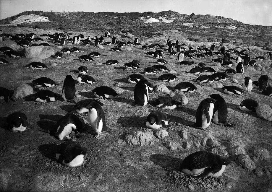 Thousands of penguins on the rocks of the penguinry at Cape Royds. Photo: Popperfoto, H.G. Pointing/Terra Nova / Popperfoto