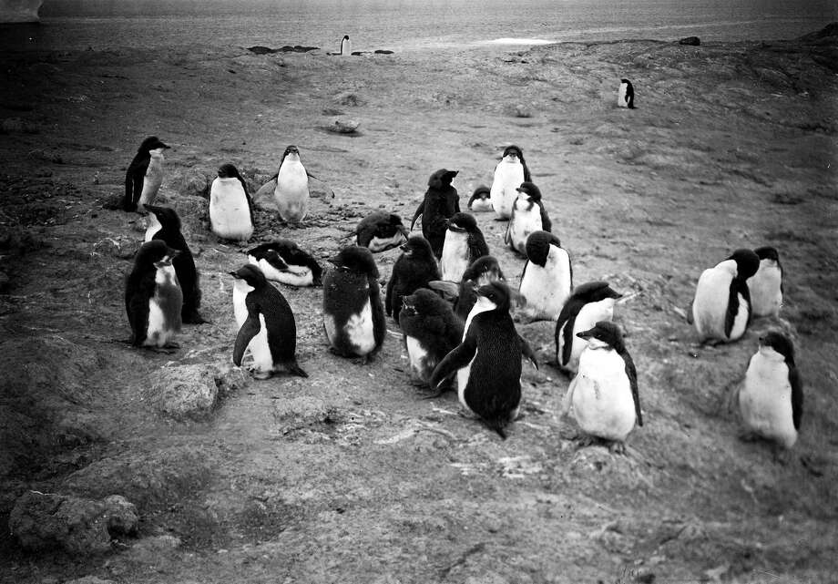 A group of young penguins at Cape Royds. Photo: Popperfoto, H.G. Pointing/Terra Nova / Popperfoto