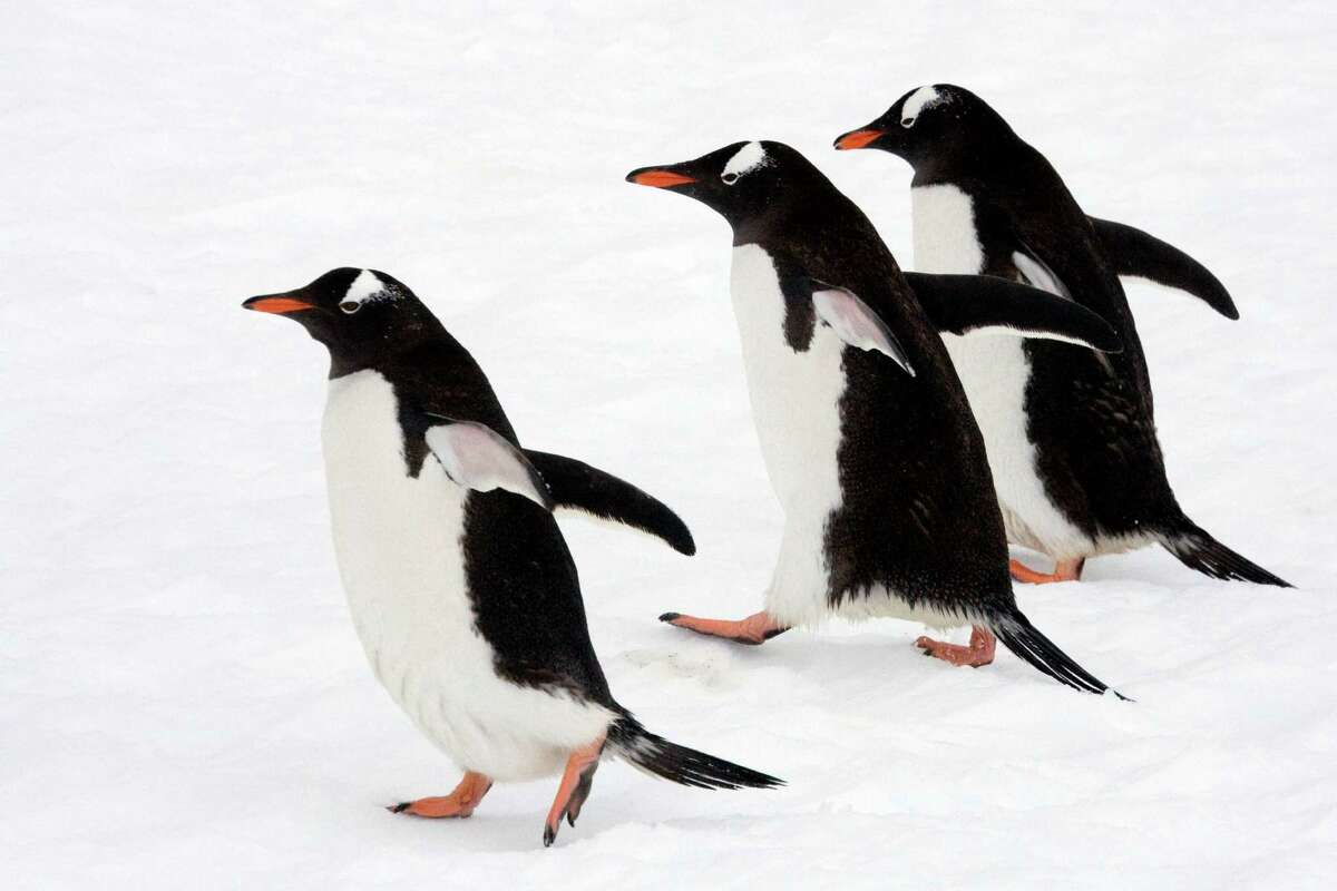 Penguins in Antarctica, photographed by timesunion.com Executive Producer Paul Block during a trip in December 2007.