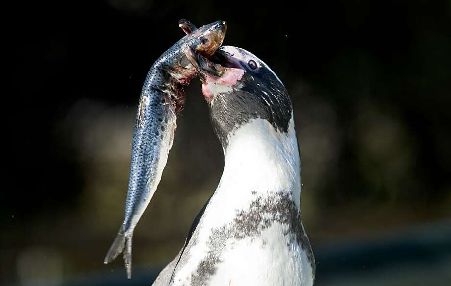 He prefers them head on: In honor of World Penguin Day, a Humboldt penguin digs into a sardine at the zoo in Santiago, Chile. Photo: Martin Bernetti, AFP/Getty Images