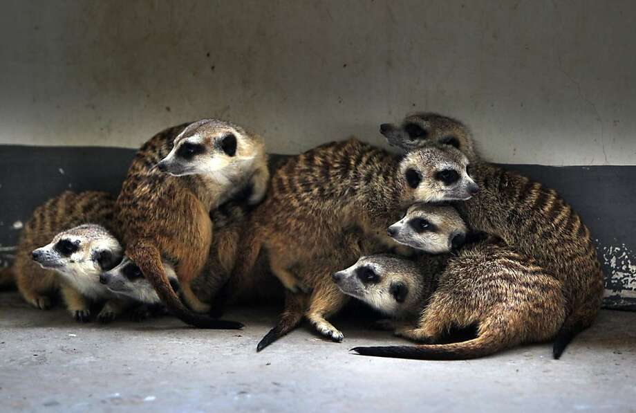 Everybody, look to your right. You too, Ralph: Getting meerkats to pose for family portrait proves to be a challenge at the Changshang Ecological Zoo in Changsha, China ... Photo: Str, AFP/Getty Images